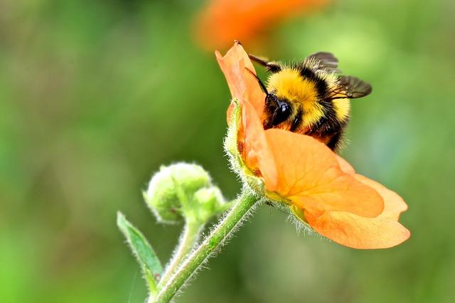 čmelák na květině